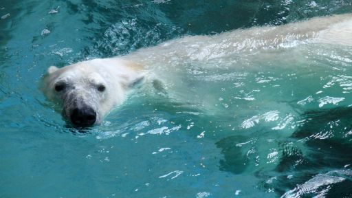 How Grizzlies Evolved into Polar Bears