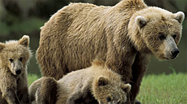 Arctic Bears How Grizzlies Evolved Into Polar Bears Nature Pbs