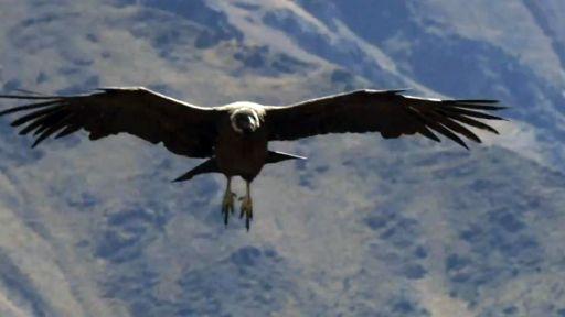 Animal Guide: Cape Griffon Vulture