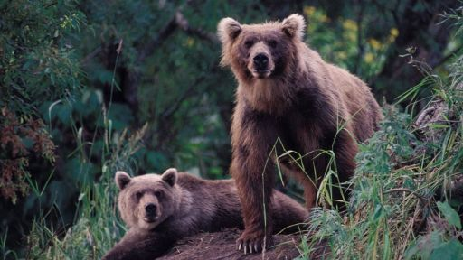 The Delisted Yellowstone Grizzly Update from Natural Resources Defense Council