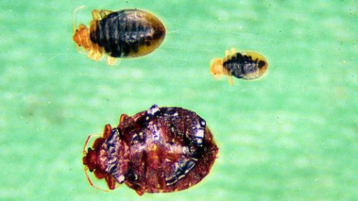 Strange Bedfellows: Bedbugs Make a Comeback