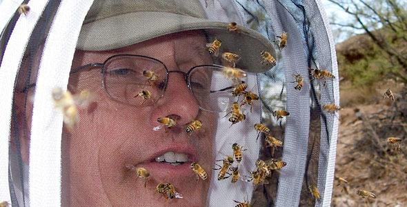 Swarm of Africanized honeybees