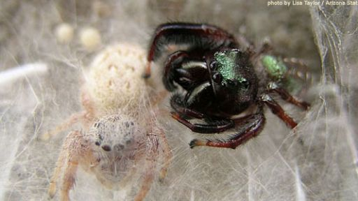 Jumping Spiders Photo Caption Challenge