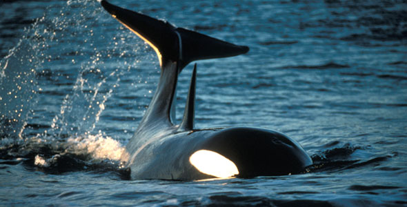Killers in eden face to face with a killer whale nature pbs when altavistaventures Image collections