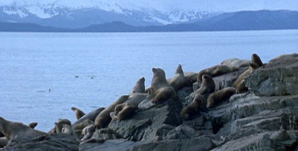 sea lions in Alaska