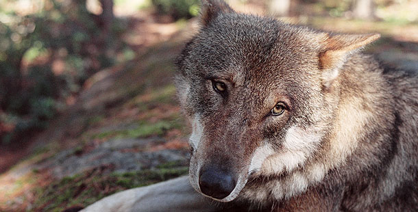 What caused the domestication of wolves?
