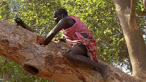 Kenya's Fig Trees Under Threat?