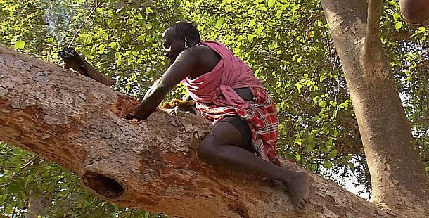 Fig Trees Under Threat?