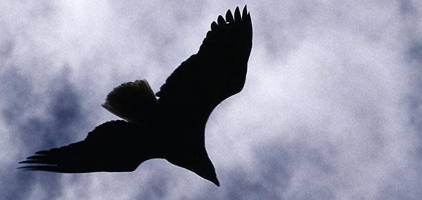 falcon soaring