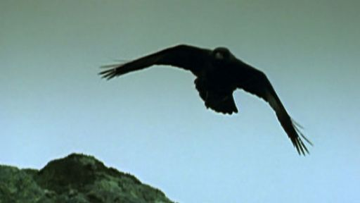 Discover the Brainpower of the Bird in Black