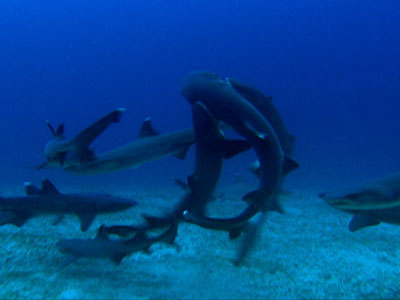 hammerhead sharks essay One of the most recognizable sharks is the hammerhead shark, evolutionarily earmarked with a set lateral projections, called cephalofoils, off the sides of their heads that allows them to have a 360° visual radius on the vertical spectrum.