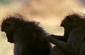 baboon social grooming
