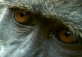 Chacma baboon eyes