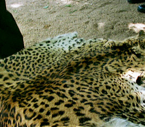 Leopard furs can be worth thousands of dollars on the black market.