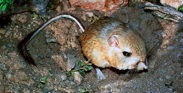 Giant Kangaroo Rat  Dipodomys Kangaroo Rat Eating