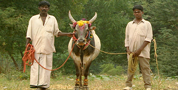 Holy Cow | Hinduism's Sacred Animal | Nature | PBS