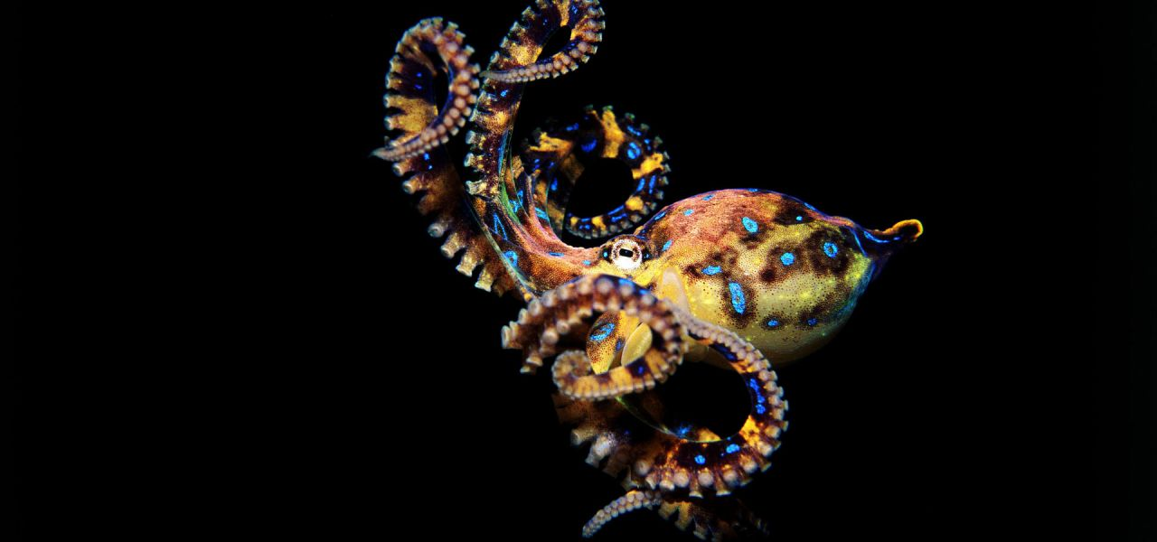 Where Do Blue Ring Octopuses Live