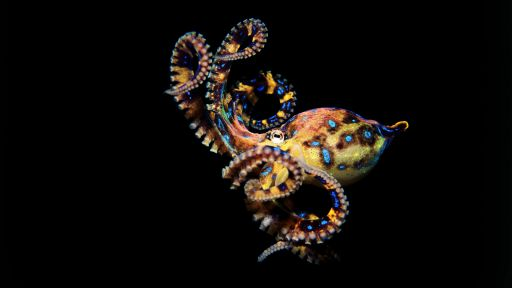 Animal Guide: Blue-Ringed Octopus