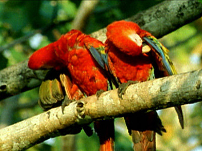 The Real Macaw Photo Gallery Discover The Charm Of Macaws Nature Pbs