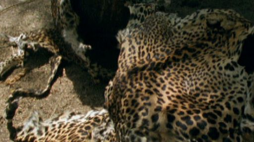Leopard Poaching
