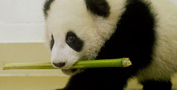 The Panda Baby Bamboo Bears Nature Pbs