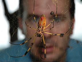 Martin Nicholas examines a golden orb-weaving spider's web.