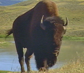 American Buffalo: Spirit of a Nation | About | Nature | PBS