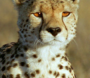 chasing big cats species guide nature pbs
