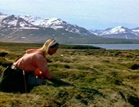 Icelanders harvest feathers from eider ducks