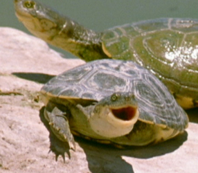 The Reptiles: Turtles and Tortoises Pet Turtles Nature PBS
