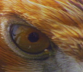 Eagles are known for their sharp vision