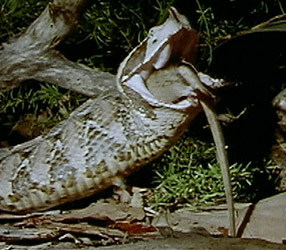 The Reptiles: Snakes | Saving Snakes | Nature | PBS