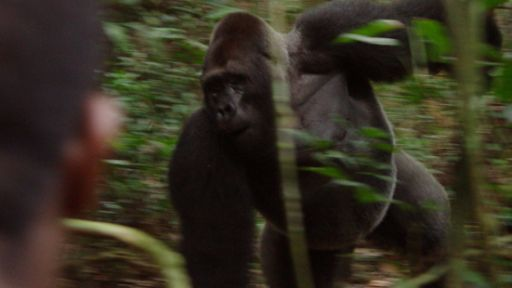 Tracking Gorillas