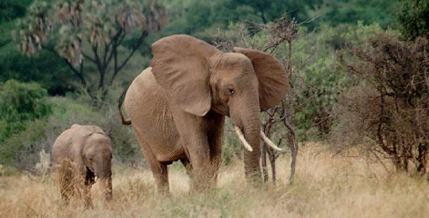The Elephant Men Living Gods Nature Pbs