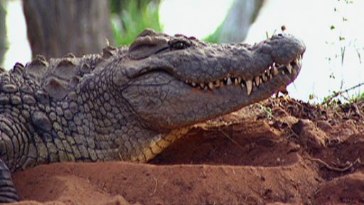 The Reptiles: Alligators and Crocodiles | Gator Trapping | Nature | PBS