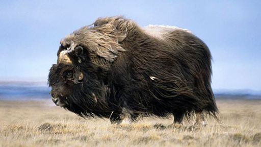 Musk Ox of the Arctic