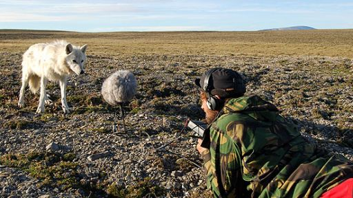 Arctic Diary: Tracking Wolves | Introduction