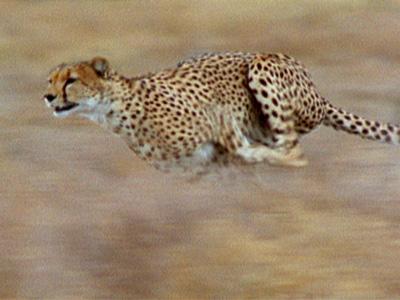 chasing big cats photo essay nature pbs