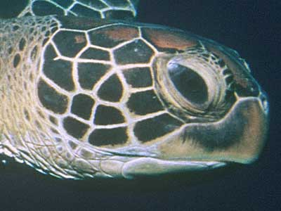 Voyage of the Lonely Turtle | Photo Essay: Turtle Anatomy | Nature | PBS