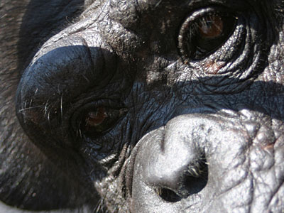 essay about chimpanzees I drove into new haven on a recent morning with a burning question on my mind how did my daughter do against the chimpanzees a month before, i had found a letter in the cubby of my.