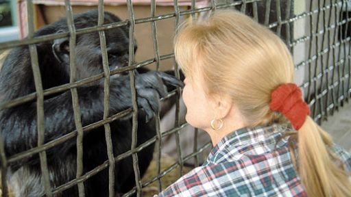 Caring for Captive Chimps