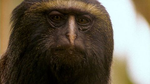Clever Monkeys  Monkeys and Language  Nature  PBS