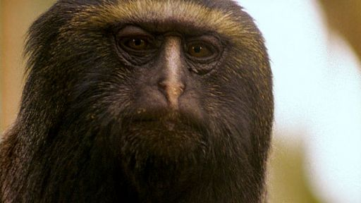 Clever Monkeys | Monkeys and Medicinal Plants | Nature | PBS