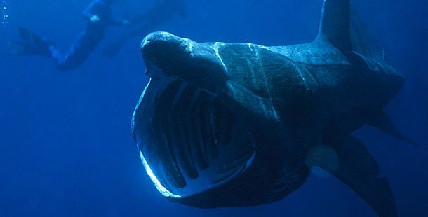 Basking sharks average about 25 feet long