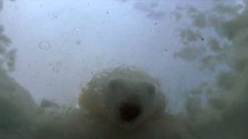 Polar Bears Hunt for Seal Pups