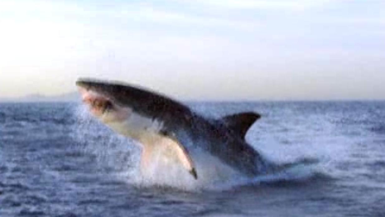 Sharkland | Great White Shark Hunts Fur Seals | Nature | PBS