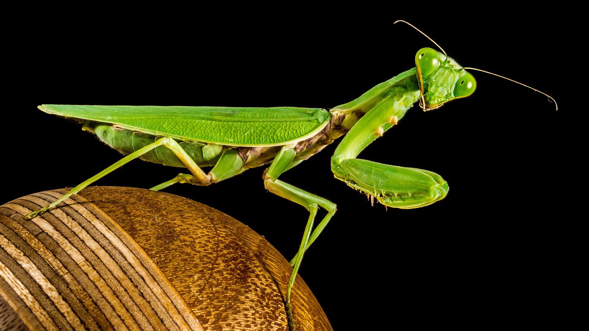 praying mantis bite head