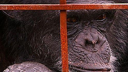 Chimpanzees: An Unnatural History