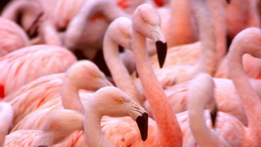 Dance of the Flamingos