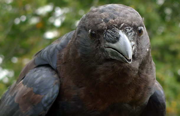 American Crow in Ontario, Canada. Photo by J.P. Moczulski © 2009 A Murder of Crows, Inc.